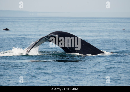 Humpback Whale (Megaptera novaeangliae) fluking, with mirage in background. Monterey, California, Pacific Ocean. - Stock Photo