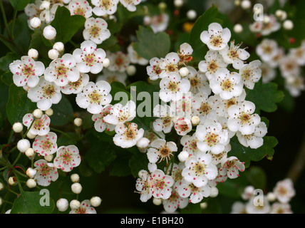 Common Hawthorn Tree in Flower, Crataegus monogyna, Rosaceae - Stock Photo