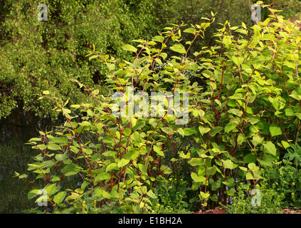 Japanese Knotweed, Fallopia japonica, Polygonaceae. Syn. Polygonum cuspidatum. - Stock Photo