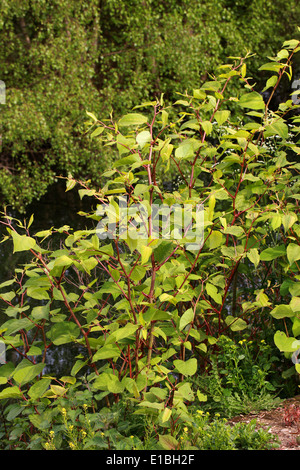 Japanese Knotweed, Fallopia japonica, Polygonaceae. Syn. Polygonum cuspidatum. - Stock Photo