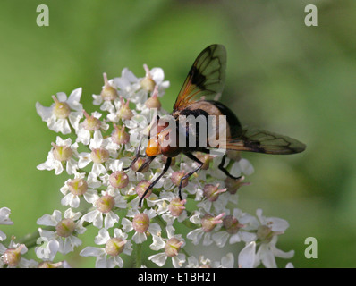 Pellucid Hoverfly, Volucella pellucens, Syrphidae, Diptera, Female, UK. Aka White Belted Plume Horn Hover-fly. - Stock Photo