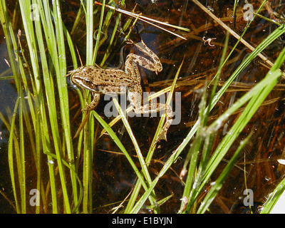 Columbia Spotted Frog - Stock Photo