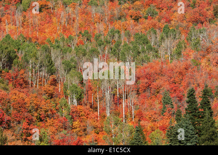 Maple and aspen trees in full autumn foliage in woodland. - Stock Photo