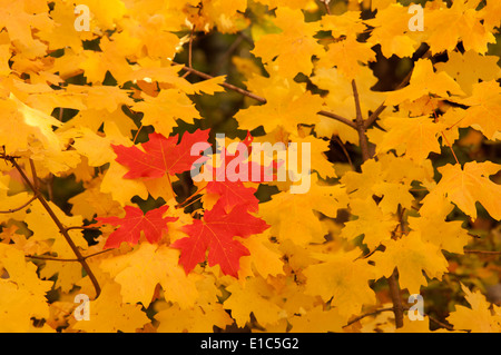 Vivid coloured maple leaves in autumn. - Stock Photo