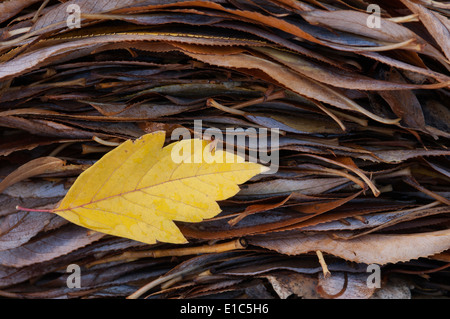 A single leaf on top of a pile of leaves in autumn. - Stock Photo