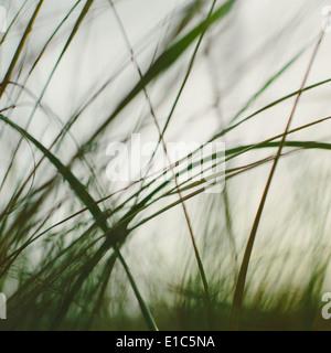 Sea grasses on the sand dunes on Long Beach Peninsula dunes. Close up. - Stock Photo