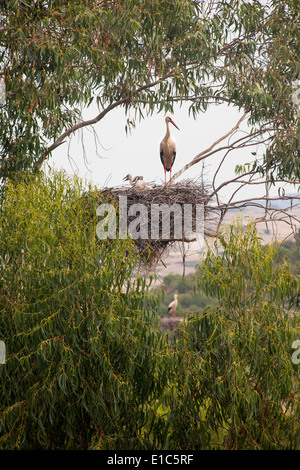 A white stork perched on a nest in the branches of a tree. - Stock Photo