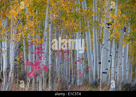 Maple and aspen trees in the national forest of the Wasatch mountains. White bark and slender tree trunks. - Stock Photo