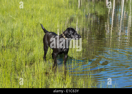A black labrador dog on the edge of standing water. - Stock Photo