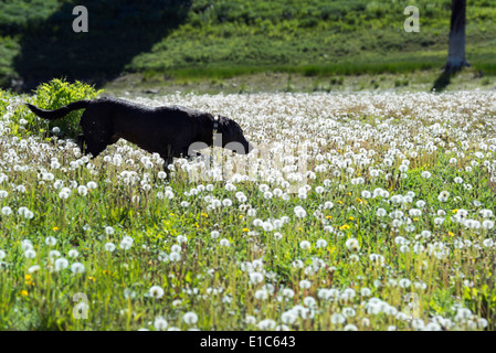 A black labrador dog in tall meadow grass. - Stock Photo