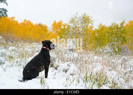 A black labrador dog in snow. - Stock Photo