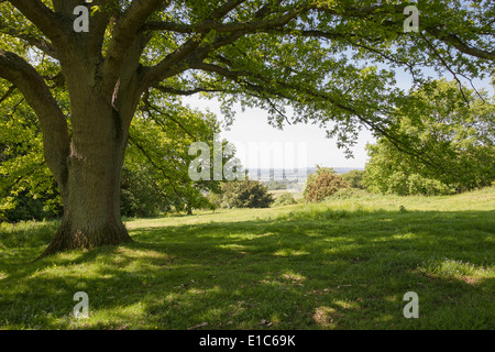 Dappled sunlight under the branches of a large Oak tree at Newlands Corner on the Surrey Hills, Surrey, England, - Stock Photo