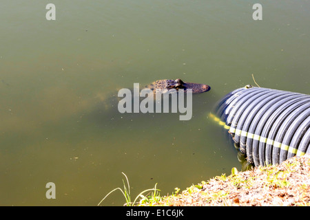 Young Alligator waiting near an overflow pipe in a lake in Florida - Stock Photo