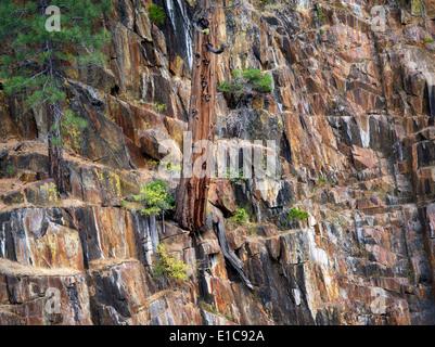 Cedar tree growing in rock wall on banks of Glen Alpine Creek. Near Fallen Leaf Lake, California - Stock Photo