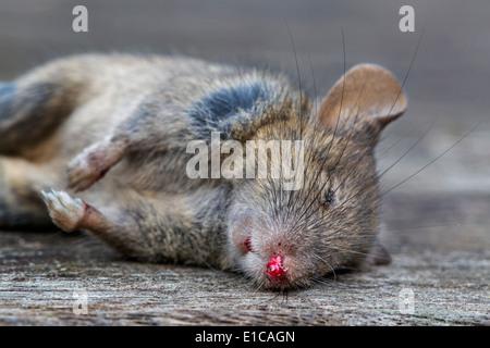 Close up of dead juvenile brown rat (Rattus norvegicus) - Stock Photo
