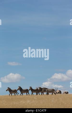 Herd of Mountain Zebra in yellow grass against blue sky - Stock Photo