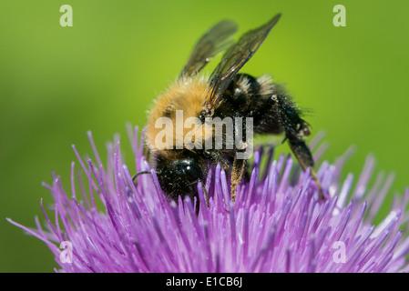 Bumblebee Macro on Purple Thistle - Stock Photo