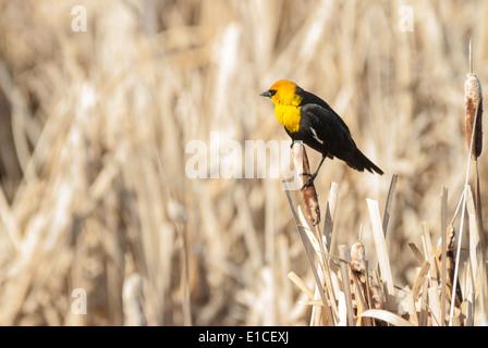 Yellow-headed blackbird perched on a cattail seedhead, Big Lake, Alberta - Stock Photo