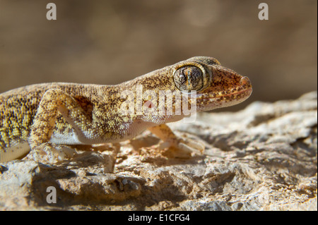 Lichtenstein's Short-fingered Gecko, Stenodactylus sthenodactylus - Stock Photo