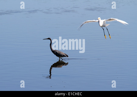 A Snowy Egret in Flight and a wading Heron - Stock Photo
