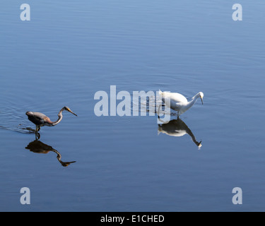 A Snowy Egret and a Tricolored Heron wade in shallow water - Stock Photo