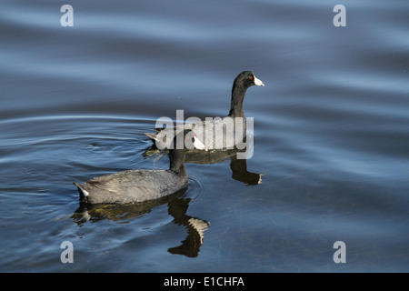 American Coots - Stock Photo