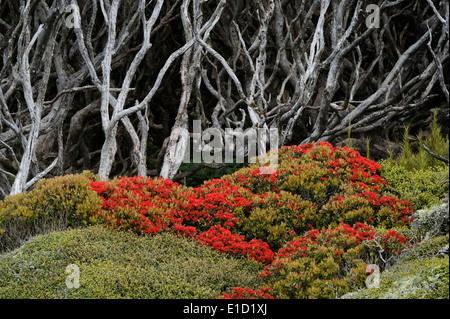 View of a Sub-antarctic forest, blooming in summer. - Stock Photo