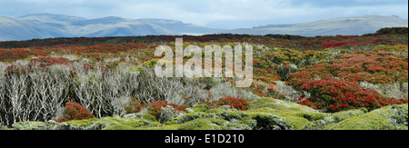 Panoramic view of Enderby Island with flowering Southern Rata forest canopy (Metrodsideros Umbellata). - Stock Photo