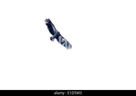 Himalayan Griffon Vulture, Gyps himalayensis in flight against washed out white sky - Stock Photo