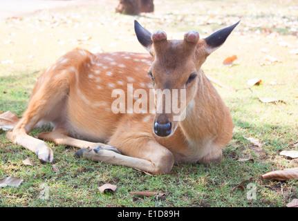 Deer in Garden Pet - Stock Photo