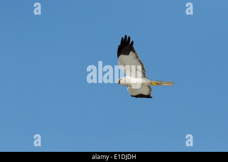 Hen Harrier (Circus cyaneus) male, against a clear blue sky. North Uist, Outer Hebrides, Scotland, UK - Stock Photo