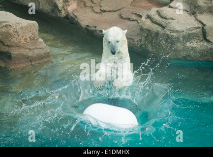 Anana, the resident Polar bear (Ursus maritimus) of Lincoln Park Zoo in Chicago, Illinois, plays in the water on - Stock Photo