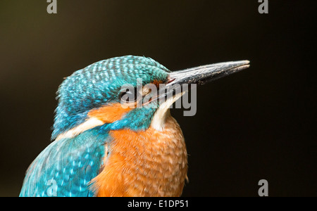 kingfisher up close portrait - Stock Photo