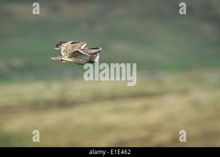 Short-eared Owl Asio flammeus hunting. North Uist, Outer Hebrides, Scotland - Stock Photo