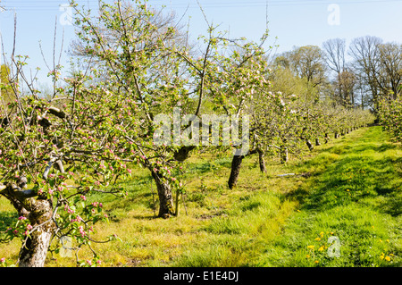 Apple trees in bloom in a County Armagh orchard - Stock Photo