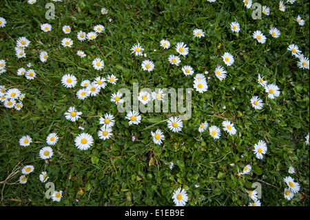 Daisies dotted around growing in the grass, taken from above - Stock Photo