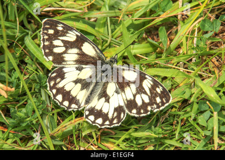 Marbled White butterfly open wings on grass - Stock Photo
