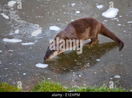 Eurasian Otter (Lutra lutra) sitting on frozen Pond, UK - Stock Photo