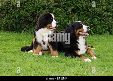 Berner Sennenhund Welpe Rüde sitzt neben liegenden Berner Sennenhund - Stock Photo