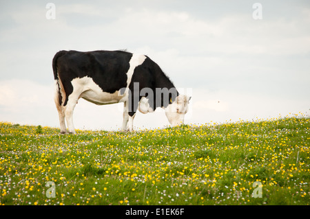 Black and White Dairy Cow Grazing against Sky in Grassy Field with Buttercups and Daisies - Stock Photo