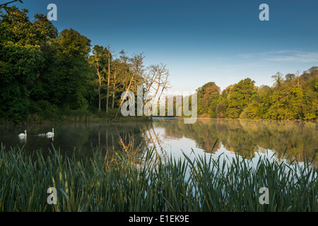 Lake at dawn with swans on lake in grounds of country house hotel near village of Brixton, Devon, West of England - Stock Photo