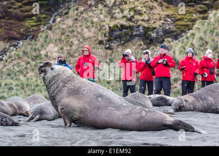 Southern elephant seal (Mirounga leonina), visitors watch males challenging each other at Gold Harbour, South Georgia - Stock Photo