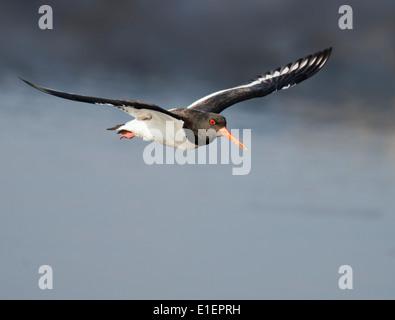 Oystercatcher Haematopus ostralegus in flight - Stock Photo