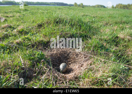 The nest of the Common Gull (Larus canus) in the wild. - Stock Photo