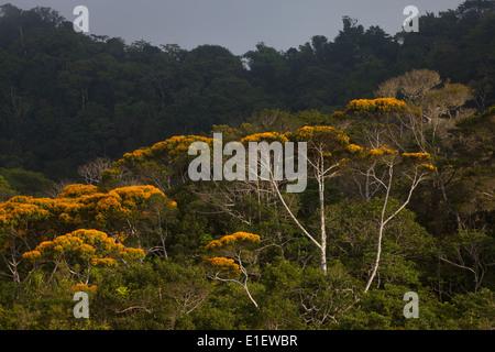Flowering May Trees in Altos de Campana national park, Panama province, Republic of Panama.