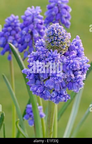 Muscari armeniacum 'Blue Spike' (common name Grape hyacinth) - Stock Photo
