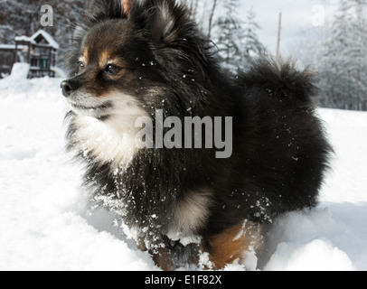 Cute Pomeranian Plays In Snow - Stock Photo