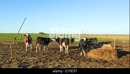 cows with black and brown stains on the American pampas. - Stock Photo