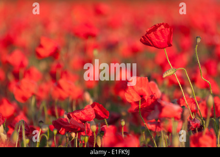 A sea of red poppies in a field - Stock Photo