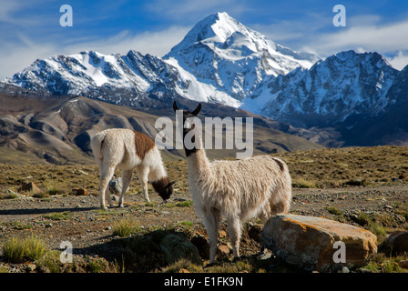 Llamas (Lama glama). On the background the Huayna Potosi mountain (6088mts). Cordillera Real. Near La Paz. Bolivia - Stock Photo
